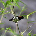 Javan Munia (Lonchura leucogastroides)  by Normf
