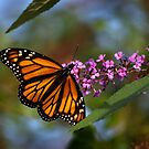 Monarch  by William Gerber Jr