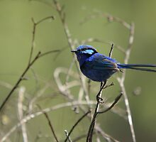 Splendid Blue Fairy Wren ~ Dwellingup ~ WA by EverChanging1