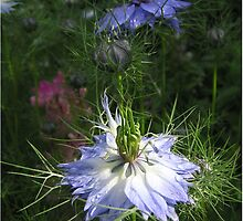 Cornflower before it became an underwater scene by Elaine Game