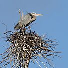 Great Blue Heron Nesting by Bill McMullen