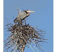 Great Blue Heron Nesting Photographic Print