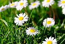 Common Daisies (Bellis perennis) by buttonpresser