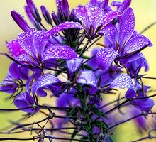 Rose Cleome - Early Morning Mist by T.J. Martin