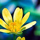 Celandine Flower by Vicki Field