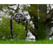 Great Grey Owl (Strix nebulosa) in flight Photographic Print