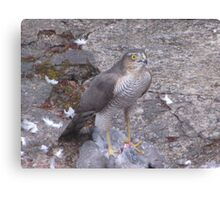 Hawk In For The Kill Canvas Print
