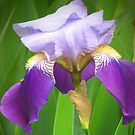 Bi-colored purple iris by Maria1606