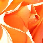 Orange rose by Sue Brown