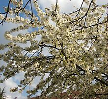 Sweet cherry blossom by Ana  Marija