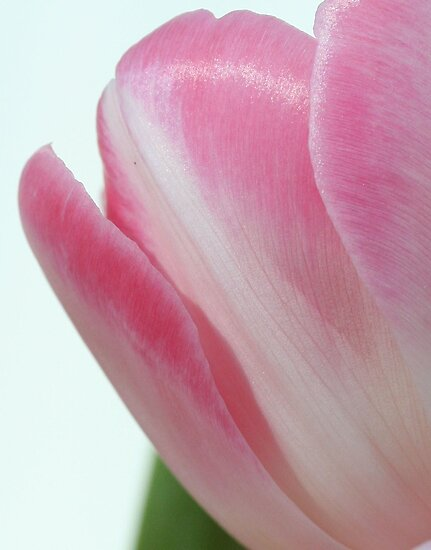 Pink tulip by Sue Brown