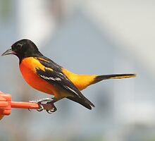 Baltimore Oriole   by Dave & Trena Puckett