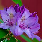 New Azalea Blossoms Beside the General Burrows Covered Bridge by Gene Walls