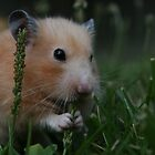 Hamster outside snacking on grass by Nehama  Verter