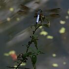 Dragonfly by the canal by Nehama  Verter