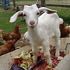 Goat in compost heap by Nehama  Verter