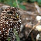 Young Burrowing Owl by Virginia N. Fred