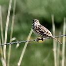 At a Loss ... It's a Vespar Sparrow by Barb Miller