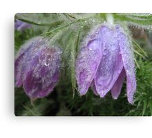 Pasque Flowers Canvas Print