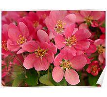 Crab Blossoms Poster