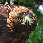 Golden Eagle Staredown by Nancy Barrett