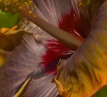 Hibiscus Abstract by Dennis Rubin IPA