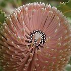 Banksia menziesii pink by kalaryder
