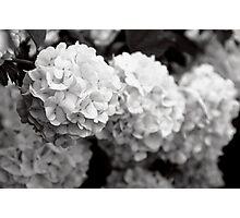 Hydrangea - BW Photographic Print