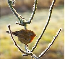 My little friendly Robin by Dave  Knowles