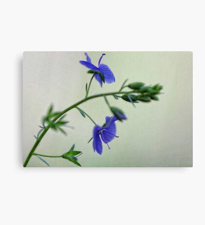 -Georgia Blue Speedwell Canvas Print