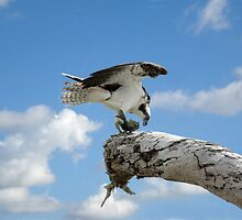 OSPREY WITH FISH by TomBaumker