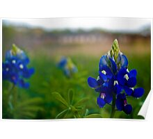 Blue Bonnet Poster