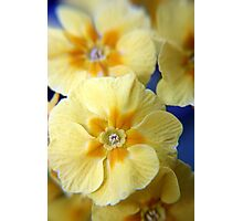 Yellow Primula Flowers Photographic Print