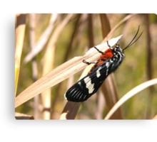 Pretty Moth in my Garden, Tumut, Australia. Canvas Print