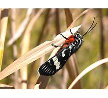 Pretty Moth in my Garden, Tumut, Australia. Photographic Print