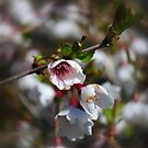Cherry blossom in a spin by Lissywitch