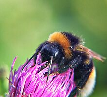 Bee on Thistle by Vicki Field
