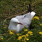 Mrs Seagull nesting. by johnrf