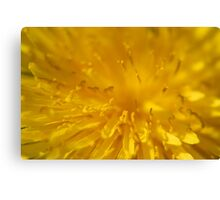 Yellow dandelion flower macro  Canvas Print