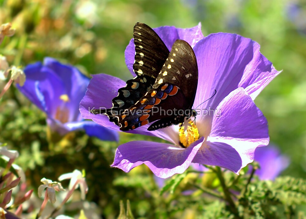 Spicebush Swallowtail Showing It's Colors  by K D Graves Photography