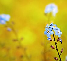 Forget me not flower  by Vicki Field