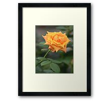 Yellow Rose With Tint of Peach Framed Print
