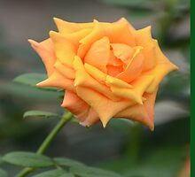 Yellow Rose With Tint of Peach by ginawaltersdorf