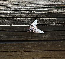 House Fly by R-Summers