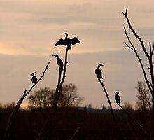 Cormorants roost by SWEEPER