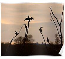 Cormorants roost Poster