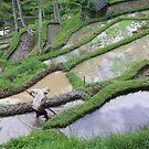 Bali Rice Fields by Steve Bullock