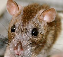 Zafia the brown eyed rat by shoshanah