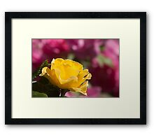 Yellow Rose Of Toronto Framed Print