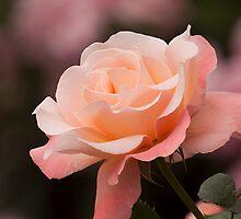 Rose by EugeJ